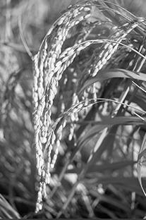 契約栽培米